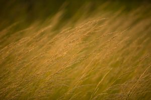 Coastal grasses blowing in the breeze, Southport, North Carolina.